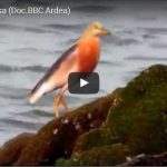 Video Bird Watching Ancol Jakarta (BBC)